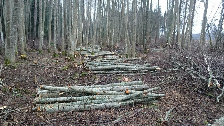 Otsin metsa langetaja tööd