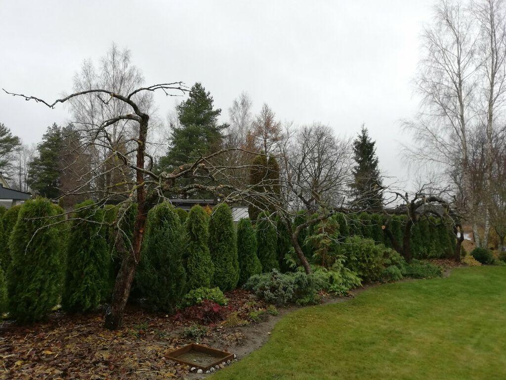 Ohtlike puude langetamine/ohtlikud puud/tormimurd