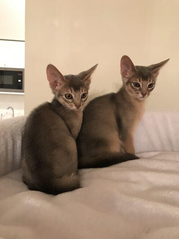 Abessinia kassipojad isane Viimsi