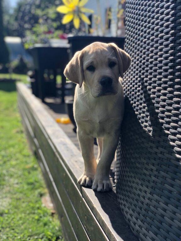 Labrador retriiver kutsikas