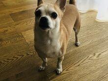 Chihuahua laadne poiss otsib pruuti