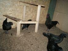 Haudemunad Ayam cemani