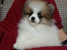 Pomeranian emane
