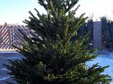 Jõulupuu, Kaukaasia nulg