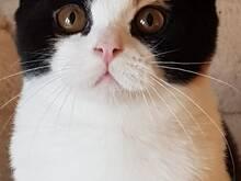 Briti lühikarvaline emane kass  ainulaadse värvi