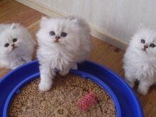Müüa pärsia kassipojad