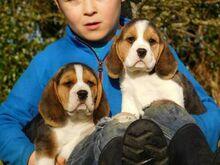 Kolmevärvilised beagle kutsikad on nüüd valmis