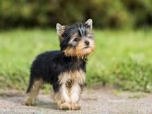 Ostan Yorkshire Terrier kutsikat