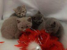 Sugupuu Briti lühikarvalised kassipojad saadaval