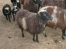 Kihnu lammas