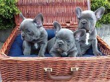 Kvaliteetsed sinised prantsuse buldogide kutsikad