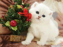 Ilusad briti lühikarvalised kassipojad heledad.