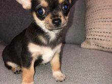 Chihuahua kutsikad