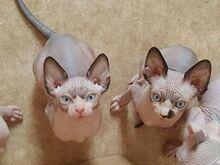 Müüa sfinksi kassipojad