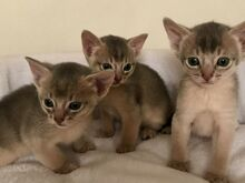 Abessinia kassipojad Viimsi