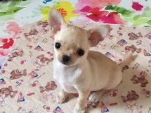Chihuahua lühikarvaline, isane