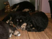Tiibeti mastifite kutsikad