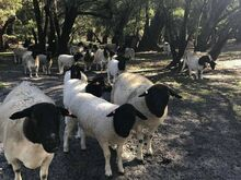 Dorpers sheep for sale