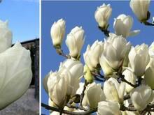 Magnoolia Alba 100/150 cm