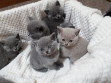 Müüa Briti lühikarvalised kassipojad
