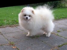 Pomeranian isane koer