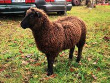 Utt lammas