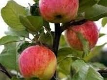 Õunapuud istikud