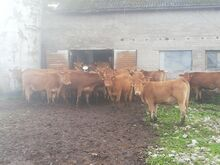 Li ristand lehmikud