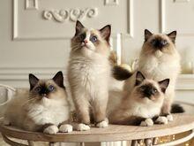 Haruldase tõuga Ragdoll kassipojad