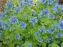 Lõokannus Craigton blue