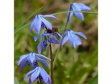Scilla siberica harilik siniliilia 10 taime