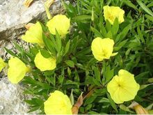 kuningakepp kollane 10 taime