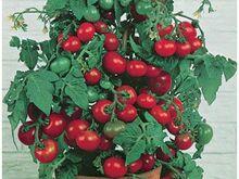 Tomat Tiny Tim 10 seemet
