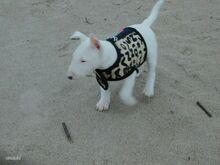 Koera vest rihmakinnitusega