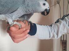 Sinise ja kuldse ara papagoid