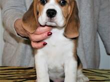 Beagle kutsikas