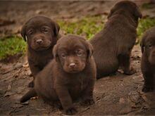 Labradori retriiveri