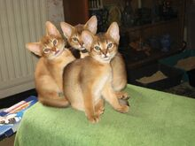Müüa tõupuhtad Abessiinia Rudy kassipojad