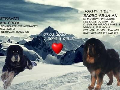 Tiibeti mastifi kutsikad